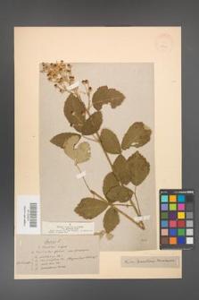 Rubus canescens [KOR 18641]