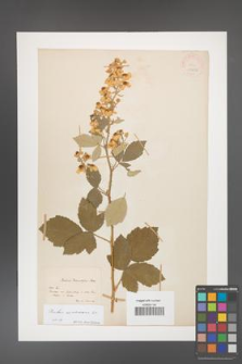 Rubus canescens [KOR 18636]