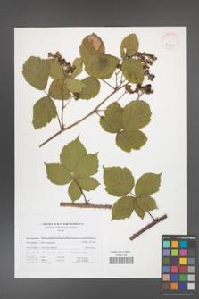 Rubus camptostachys [KOR 41677]