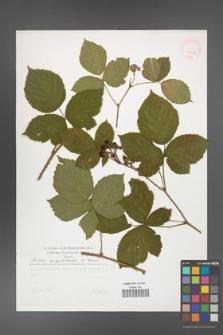 Rubus camptostachys [KOR 29801]