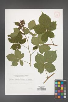 Rubus camptostachys [KOR 29514]