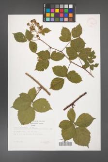 Rubus camptostachys [KOR 32440]