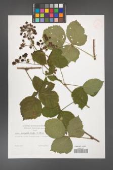 Rubus camptostachys [KOR 38335]