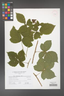 Rubus camptostachys [KOR 41675]