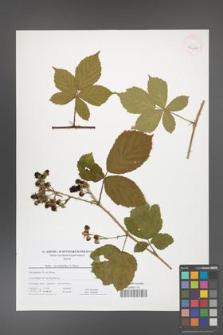 Rubus camptostachys [KOR 41620]