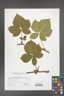 Rubus camptostachys [KOR 42740a]