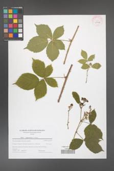 Rubus camptostachys [KOR 43966]