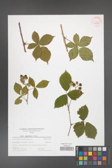 Rubus camptostachys [KOR 44020]