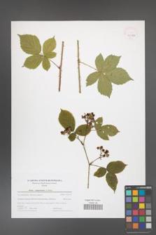 Rubus camptostachys [KOR 43993]