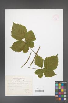 Rubus camptostachys [KOR 47396]