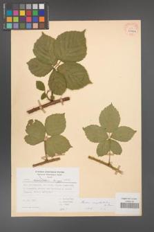Rubus camptostachys [KOR 31406a]