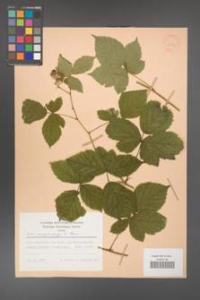 Rubus camptostachys [KOR 28054]