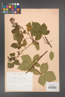 Rubus camptostachys [KOR 28000a]