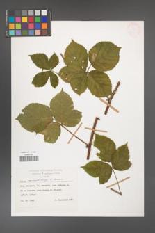 Rubus camptostachys [KOR 28002]