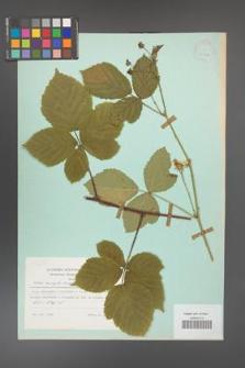Rubus camptostachys [KOR 23896]