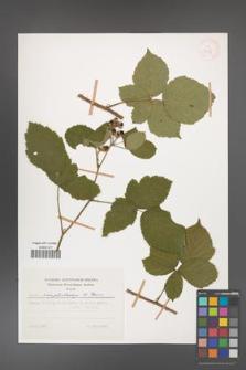 Rubus camptostachys [KOR 31134]