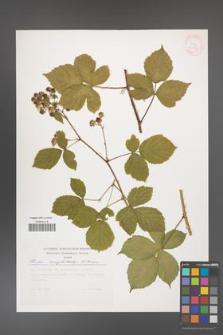 Rubus camptostachys [KOR 30513]