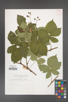 Rubus camptostachys [KOR 30561]