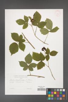 Rubus camptostachys [KOR 29601]