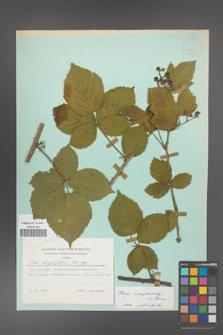 Rubus camptostachys [KOR 23900]