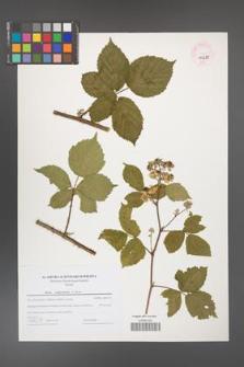 Rubus camptostachys [KOR 44689]