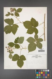 Rubus camptostachys [KOR 50091]