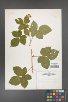 Rubus camptostachys [KOR 50085]