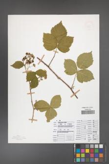 Rubus camptostachys [KOR 50092]