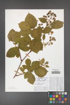 Rubus camptostachys [KOR 50096]