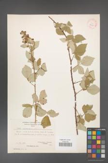 Rubus canescens [KOR 27060]