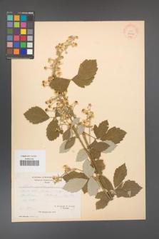 Rubus canescens [KOR 27056]