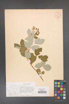 Rubus canescens [KOR 27052]