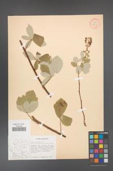 Rubus canescens [KOR 27048]