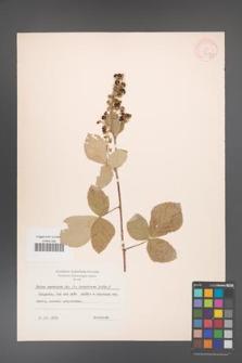 Rubus canescens [KOR 18517]