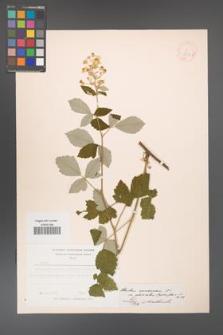 Rubus canescens [KOR 18519]