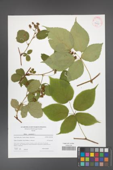 Rubus canadensis [KOR 42265]