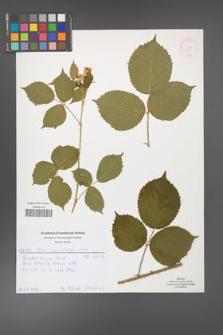 Rubus capitulatus [KOR 51978]