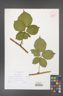Rubus capitulatus [KOR 44678]