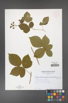 Rubus capitulatus [KOR 52047]