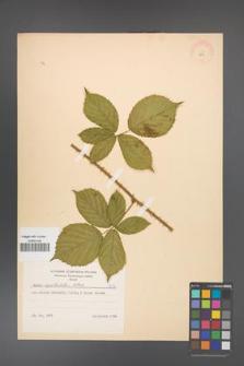 Rubus capitulatus [KOR 8672]