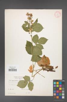 Rubus capitulatus [KOR 8878]