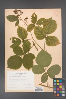 Rubus capitulatus [KOR 31148]