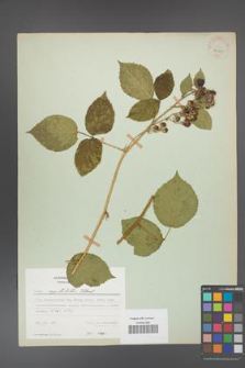Rubus capitulatus [KOR 31147]
