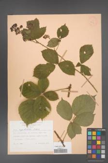 Rubus capitulatus [KOR 28004]