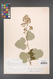 Rubus [KOR 18553]