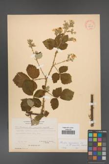 Rubus [KOR 27057]