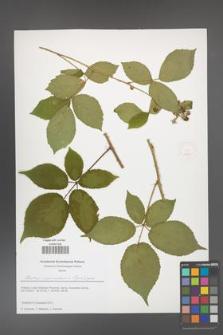 Rubus capricollensis [KOR 51647]
