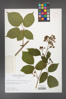 Rubus capricollensis [KOR 51610]