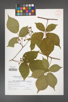 Rubus capricollensis [KOR 40687]