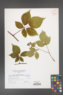 Rubus capricollensis [KOR 40686]